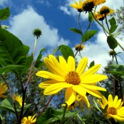 Yellow Daisies and Blue Skies
